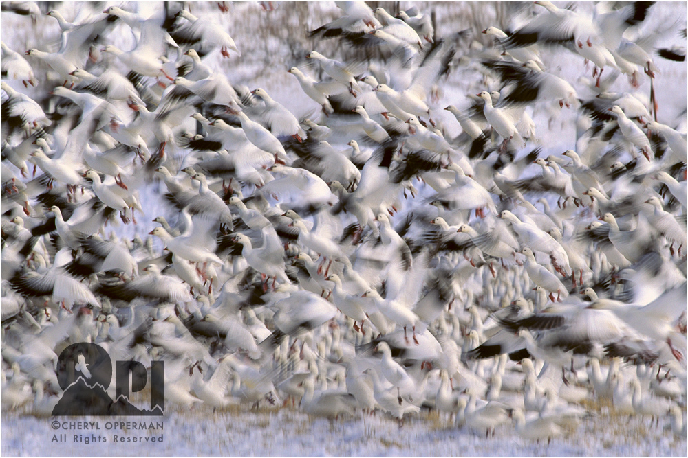 Opperman_WinterFlight_RossGeese_667
